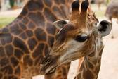 Close up shot of giraffe head — Stock Photo
