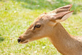 Deer in the zoo of thailand — Stock Photo