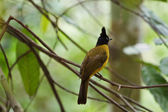 Bulbul head. — Stock Photo