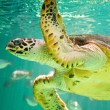 Stock Photo: Hawksbill Seturtle