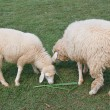 Stock Photo: Sheep grazing in a field.