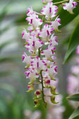 Orchid groeien op boom — Stok fotoğraf