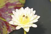白い蓮 — ストック写真