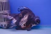 Guldfisk i akvariet. — Stockfoto