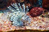 Close up of poisonous lion fish — Stock Photo