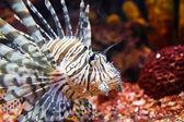 Zehirli aslan balığı yakın çekim — Stok fotoğraf