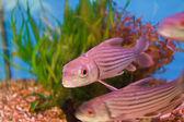 Jullien's golden carp — Stock Photo