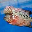 Flowerhorn Cichlid fish in the aquarium — Stock Photo