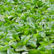Stock Photo: Green water hyacinth