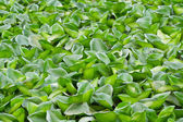 Green water hyacinth — Stock Photo