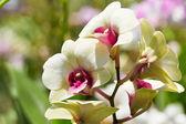 Witte orchideeën. — Stockfoto