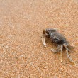 Crab on the beach — Stok fotoğraf