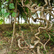 Twisted tropical tree roots — Stock Photo #33208741