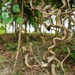Stock Photo: Twisted tropical tree roots