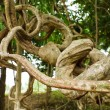 Twisted tropical tree roots — Stock Photo