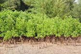 Mangrove-thailand. — Stockfoto