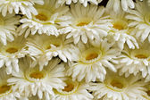 Chrysanthemum white. — Stock Photo