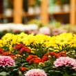Chrysanthemum — Stock Photo #34486853