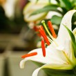 Stock Photo: Beautiful white lily flowers