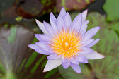Purple lotus. — Stock Photo