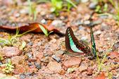 Papillon en thaïlande de parc national pour le sida pang — Photo