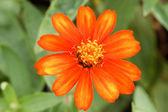 ジニアは庭で花 — ストック写真