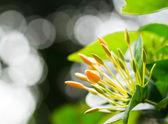 Yellow flower spike — Stock Photo