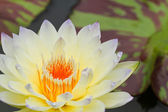 Yellow water lily — Stock Photo