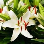 Beautiful white lily flowers — Stock Photo #35496379