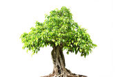 Green bonsai tree Isolated on white background — Stock Photo