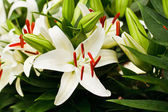 Beautiful white lily flowers — Stok fotoğraf