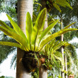 Bird nest fern — Stock Photo