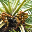 Asian Palmyra palm — Stock Photo