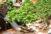 Green bonsai tree Isolated on white background — Stock Photo