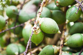 Ripe Betel Nut Or Are-ca Nut Palm On Tree — Stock Photo