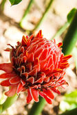 Torch ginger flower — Stock Photo