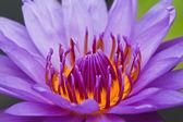 Purple lotus. — Stock Photo