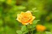 Flores de rosas amarelas — Fotografia Stock