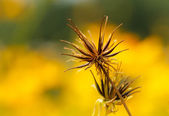 Yellow Cosmos flower — Stock Photo