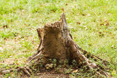 Stumps drying — Stock Photo