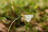 Farfalla su un fiore. — Foto Stock