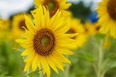 Sunflowers in Lopburi, Thailand — Stock Photo