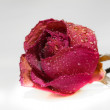 Red rose — Stock Photo #39939389