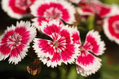 Dianthus blossoming — Stock Photo