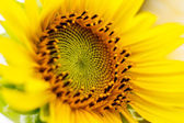 Sunflowers in Lopburi, Thailand — Stock Photo