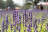 Lavenders flowers — Stock Photo