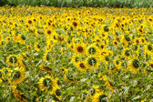 Sunflowers in Lopburi, Thailand — Foto de Stock