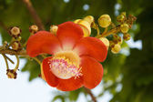 Shorea robusta Roxb — Stock Photo