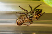 jumper spider on green leaf — Stock Photo