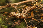 Wolf spider is resting on the net — Stock Photo